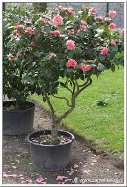 entretien du camelia en pot soins aux camellias