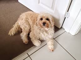 Do Cavapoos Shed A Lot by Daddy When Is My Haircut Due My Cavapoo Dog Pinterest