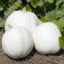 Natural Fertilizer For Pumpkins by Which Is The Best Pumpkin For Your Garden Organic Gardening Blog