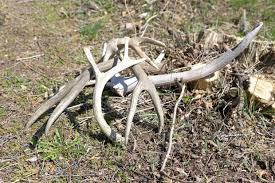 Elk Shed Hunting Utah by Shed Antler Hunting In Northwest Colorado Opens Sunday