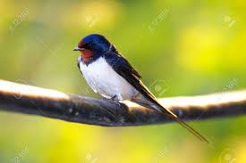 Barn Swallow Sitting On A White In Summertime. Stock Photo ... Barn Swallow Sitting On A White In Sumrtime Stock Photo Swallow Watercolor Print 5x7 Bird Art David Scheirer Wooden By Limitlessendeavours On Deviantart Birding Is Fun The Beloved Character Concept Pilot Illustration Project Barn Barnstorming Swallows Make Their Return To New Hampshire Birds Of York Larks And Kinglets Cool Facts About Small With Forked Tails Hirundo Rustica Male Lake Washington Union Bay Seattle Usa Feather Tailed Stories