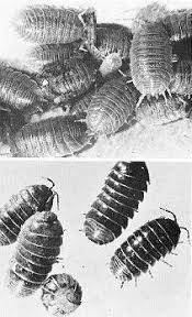 Kill Springtails In Bathroom by Urban Entomology Ebeling Chap 10 Pests In Excessively Damp
