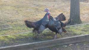Turkey Vs Turkey Wild Turkey Fight To The Death In Backyard! - YouTube Raising Turkeys Morning Routine Youtube 117 Best Helpful Tips And Tricks For Livestock Pets Images On What Do Wild Turkeys Eat Feeding Birds Your Homestead Homesteads Turkey 171 Ducks Geese Guineas Farm Tales A Holiday Feast In Our Own Backyard Free 132 Pinterest Backyard Chickens 1528 Chickens Coops Chicken How To Raise Hgtv Bring Up Other Fowl