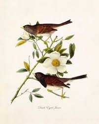 Vintage Audubon Dark Eyed Junco