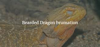 Bearded Dragon Heat Lamp Went Out by Bearded Dragon Brumation Exoticdirect