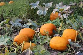Pumpkin Patch Caledonia Il For Sale by Pumpkins To Pick At A Local Pumpkin Farm Pick Pumpkins Today