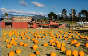Napa Pumpkin Patch Hours by Marin And Sonoma Counties In California Pumpkin Patches Corn