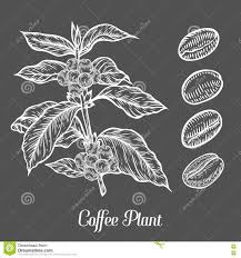 Download Coffee Plant Branch With Leaf Berry Bean Fruit Seed
