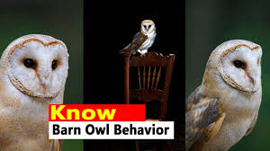 Barn Owl Habitat - Barn Owl Facts | Barn Owl Behavior - YouTube Barn Owl Front View Wood Carving My Carvings Pinterest Audubon Field Guide Spring2015vcuornithology The Owls Perch Uncommon Tyto Alba Species Paris Best 25 Owls Ideas On Beautiful Owl And Bee Alerts Scribble Scrabble Babble Schiereule Adult In Gliding Flight