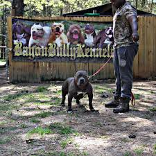 Brackwell Pumpkin Patch Vanilla Wow by Bayou Bully Kennels Goldie Pitpedia