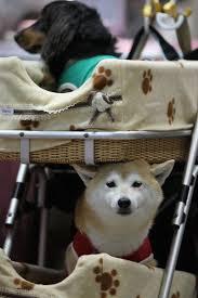 shedding in a shiba inu pets