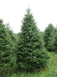 Balsam Christmas Tree Care big john u0027s christmas trees trees