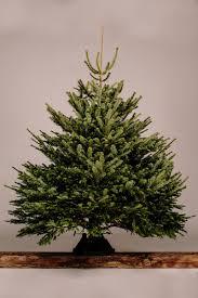 Nordmann Fir Christmas Tree by Super Grade Quality Nordmann Fir 7ft Grown In Surrey Gardenia