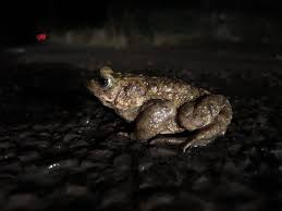 100 King Of The Frogs Simon On Twitter Please PLEASE Look Out For Toads Frogs And