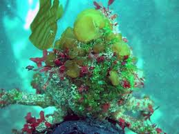 decorator crabs eat fish the costume wearing crabs of monterey bay santa