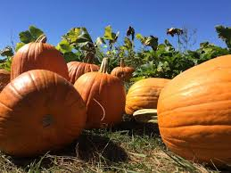 Pumpkin Picking Places In South Jersey by Summer Rain Has Had A Big Impact On Pumpkins In N J Nj Com