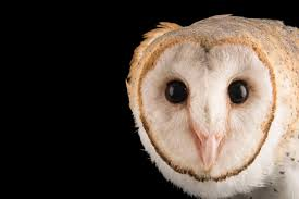 BIR025-00402 - Joel Sartore Amazing Barn Owl Nocturnal Facts About Wild Animals Barn Owl By David Cooke For Sale The Sculpture Parkcom Rhodium Comes To Canada With Its Striking New Nocturnal Nature Flying Wallpapersbirds Unique Hd Wallpapers Owls In Kuala Lumpur Bird Park Stock Photo Image 87325150 Biocontrol View Common In Malaysia Sekinchan Paddy Field Youtube Another Blog Farmers Friend Bear With Him Girl Mom Birds Of World Owls