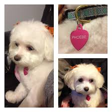 Non Shedding Dog Breeds Kid Friendly by Home Little Happy Tails Toy Sized Family Friendly Puppies