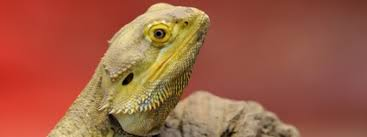Bearded Dragon Heat Lamp Wattage by The Costs Of Keeping A Bearded Dragon Bearded Dragon Costs