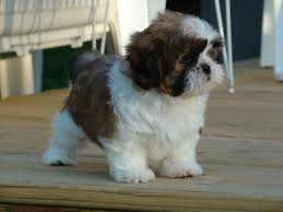 Miniature Dog Breeds That Dont Shed by Shih Tzus Are A Small Dog Breed That Don U0027t Shed That Much