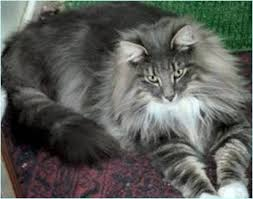 forest cat vs maine coon forest cat unpredictability and surprises