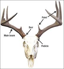 Deer Antler Shedding Cycle by Managing Bambi All About Antlers The Perennial Post