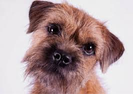 it s all about the should you get a border terrier