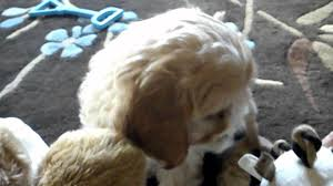 Cavapoos Do They Shed by Asha The Cavapoo Youtube