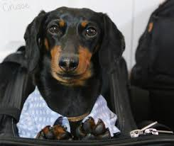 Do Black And Tan Coonhounds Shed by Nyc Shorty Awards U0026 A New Friend Crusoe The Celebrity Dachshund