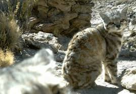 mountain cat andean mountain cat l extremely wildcat our breathing planet