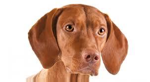 do vizsla dogs shed vizsla breed information american kennel club