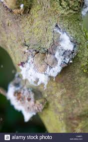 Christmas Tree Aphids by Aphid Damage Stock Photos U0026 Aphid Damage Stock Images Alamy