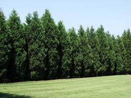 12 Reasons Proving Leyland Cypress Trees Are Best | Privacy Trees ... Best 25 Backyard Plants Ideas On Pinterest Garden Slug Slug For Around Pools But I Like Other Areas Tooexcept The Palm Beautiful Hedges Landscaping Leyland Cypress Landscape Placed As A Privacy Fence Trees Models Ideas Mixed Evergreen Tree Screen Conifers Please 22 Simply Beautiful Low Budget Screens For Your Landscape Design Bamboo Irrigation Blg Environmental Ficus Tuffi Hedge Specimen Tree Co Nz Gardens