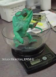 Basking Lamp For Chameleon by Panther Chameleon Care Chicago Exotics Animal Hospital