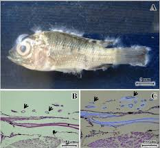 A Nile Tilapia Fry Exposed To 10 X 2 Zoospores ML 1 Of Klebsiana BKKU1003 For 3 Days Note The Hyphae On Head Dorsal And Ventral Fins
