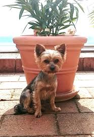 What Dog Sheds The Most by Yorkshire Terrier Dog Breed Information Pictures Characteristics