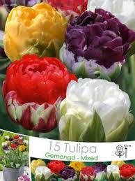 tulpenbollen viridiflora green groenland bloemen