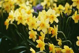 how to move narcissus bulbs from inside to outside home guides