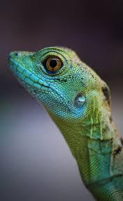 Halloween Pinstripe Crested Gecko by Pogona Henrylawsoni Zipcodezoo Reptiles Amphibians