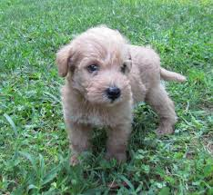List Of Non Shedding Hypoallergenic Dogs by Cute List Of Hypoallergenic Dogs With Pictures Dog Breeds Puppies