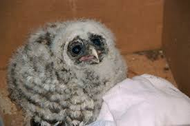 Lincoln Park Barred Owls – Seattle Nature Alliance Chris Eastern Screech Owl Nest Box Cam For 2001 Three Cute Barn Owlets Getting Raised In Kodbakkam Chennai 077bojpg Needle Felted Owlet Baby Outdoor Alabama Escapes And Photography Owls Owlets At Charlecote Park Robin Loznak Barn Owls Oregon Overheated Chicks Rescued Hungry Project 132567 2568 2569 2570 The Wildlife Center Wallpaper Archives Trust Young Thrive On Harewood Estate House By Michael A Eccles
