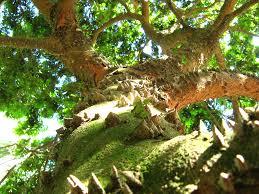 100 Pau Brazil Paubrazil Brazilwood Caesalpinia Echinata J Botanico S