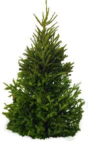 Best Artificial Fraser Fir Christmas Tree by Best Natural Christmas Tree Fraser Fir Natural Christmas Tree Online