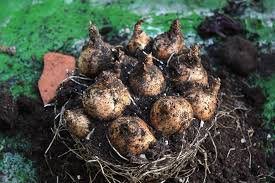 planting bulbs in containers the frustrated gardener