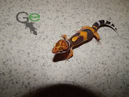 Crested Gecko Halloween Morph For Sale Uk by Pacific Green Cross Female Leopard Geckos From Derik Griffith At