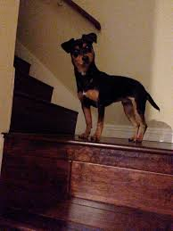 Do Miniature Doberman Pinschers Shed owning a doxiepin dog is like owning a dachshund dog anze the