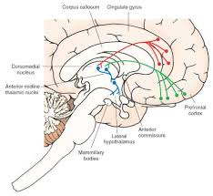 Bed Nucleus Of The Stria Terminalis by The Hypothalamus Integrative Systems Part 1