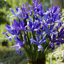 shop 25 count iris bulbs at lowes