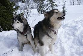 do huskies or malamutes shed more difference between alaskan malamute and siberian husky