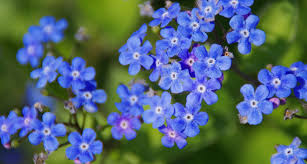 41 types of blue flowers proflowers